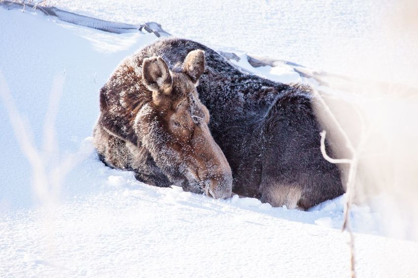 Moose sleeping in the snow Moose EyeEm Selects Animal Themes One Animal Animal No People Mammal Canine Vertebrate Day Close-up Nature Outdoors White Color Side View Animal Wildlife Snow