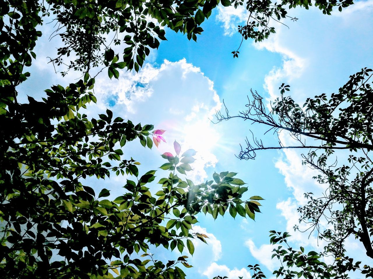 tree, low angle view, nature, sky, growth, beauty in nature, day, sunlight, no people, cloud - sky, branch, outdoors, sun, tranquility, leaf, hope, fragility