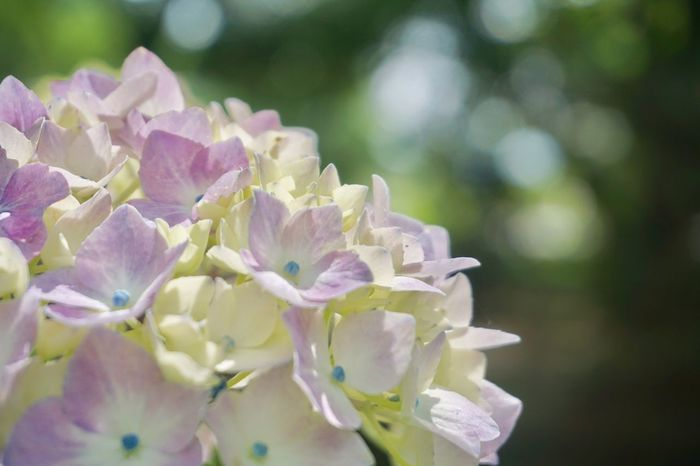 Flower Nature Growth Delicate Petal Blooming Plant No People Fragility Freshness Close-up Outdoors Flower Head EyeEm Nature Lover Hydrangea June Showcase
