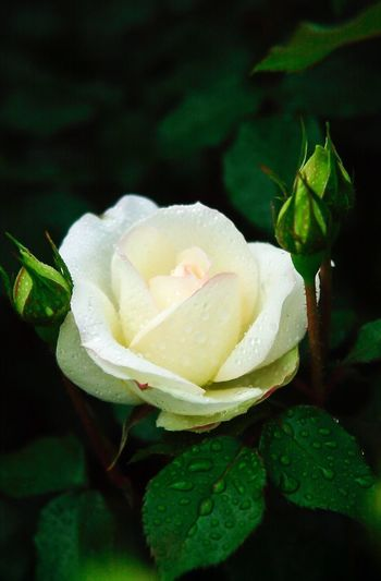 13years ago ... my first shot with nikon D1 Flower Nature Petal Flower Head Rose - Flower Blooming