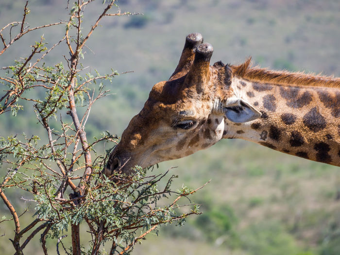 Close-Up Of Giraffe Eating On Tree