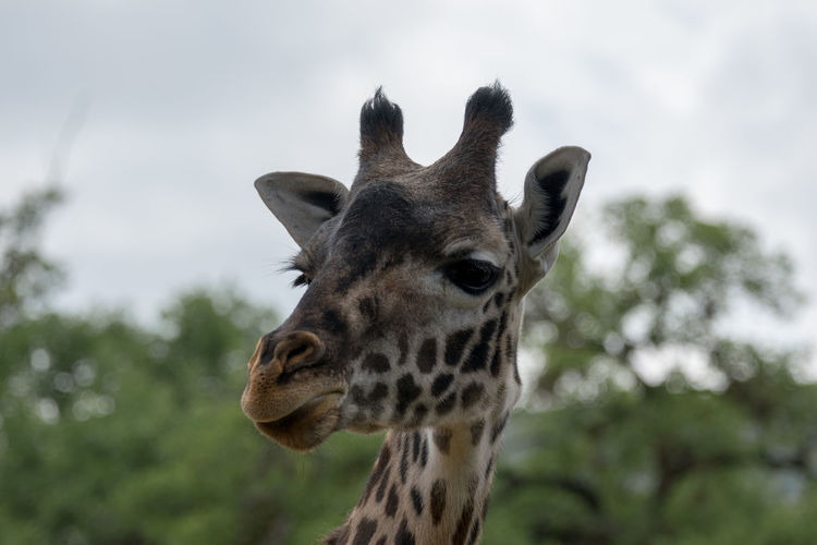 Giraffe head In Front Of Green Trees Animal Head  Animal Themes Animal Wildlife Animals In The Wild Close-up Day Focus On Foreground Giraffe Mammal Nature No People One Animal Outdoors Portrait Safari Animals Sky