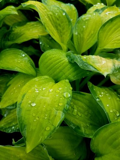 Green hostas with raindrops Hosta Plant Gardening Plant Summer Spring Water Leaf Healthy Lifestyle Backgrounds Full Frame Close-up Green Color Plant Food And Drink RainDrop Drop Blooming Plant Life Water Drop Wet