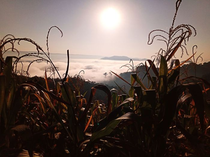 Corn and foggy sunrise Landscape Nature Aerial View ASIA Thailand Nongkhai View Outdoors Mist Foggy Cloud - Sky Sunset Water Sun Agriculture Sky Plant Farmland Crop  Agricultural Field Streaming Corn - Crop Farm Combine Harvester Corn On The Cob Ear Of Wheat Poppy Cultivated Land Wheat Cereal Plant
