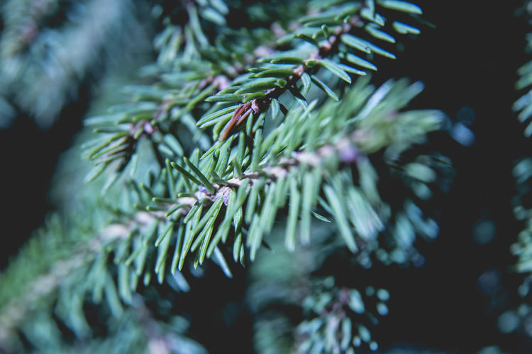 Beauty In Nature Branch Close Up Close-up Coniferous Forest Coniferous Tree Coniferous Trees Day Fir Tree Focus On Foreground Green Color Growth Nature Needle - Plant Part No People Outdoors Pinaceae Pine Tree Plant Plant Part Selective Focus Tree