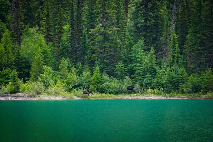 Moose Animal Beauty In Nature Coniferous Tree Day Environment Foliage Forest Glacier National Park Green Color Growth Land Lush Foliage Mammal Nature Non-urban Scene Outdoors Pine Tree Plant Scenics - Nature Tranquil Scene Tranquility Tree Water