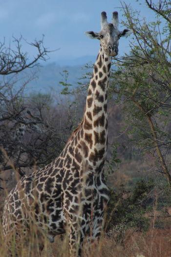 National Park Mikumi Africa Animals Antilope Bird Elephant Giraffe Goodpicture Hippo Mikumi_national_park Nationalpark Nature Wildanimals Zebra