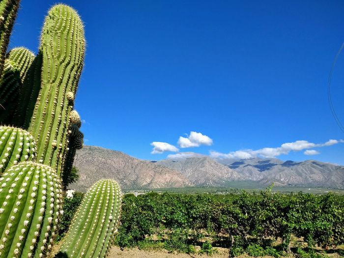 Viñedos en Cafayate, Salta Cafayate Blue Sky Torrontes Clouds Mountain Rural Scene Agriculture Mountain Field Sky Plant Green Color Vineyard Cactus Vine Grape Agricultural Field Cultivated