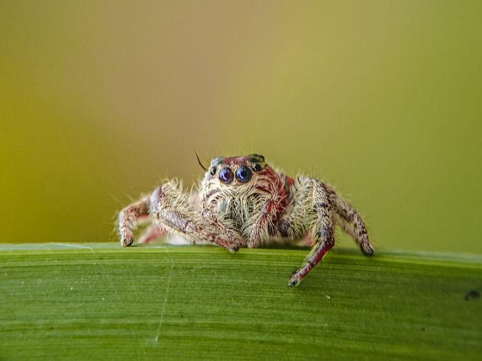 Jumping spider, hyllus diardi