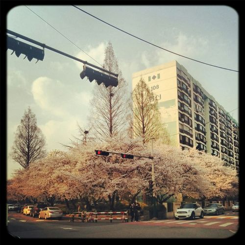 Spring /w Cherry Blossoms