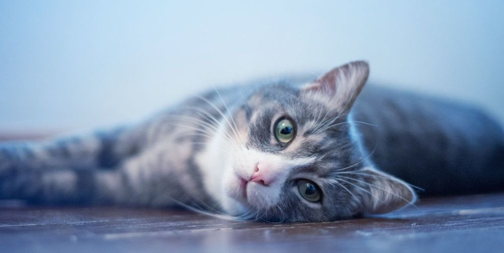 Domestic Cat Pets Domestic Animals Animal Themes Feline One Animal Indoors  Lying Down Looking At Camera Whisker Cat