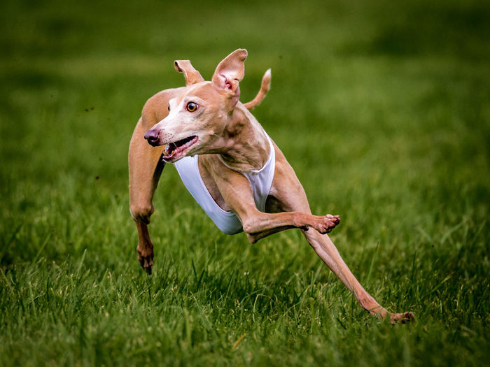 Portrait of dog running on grassy field