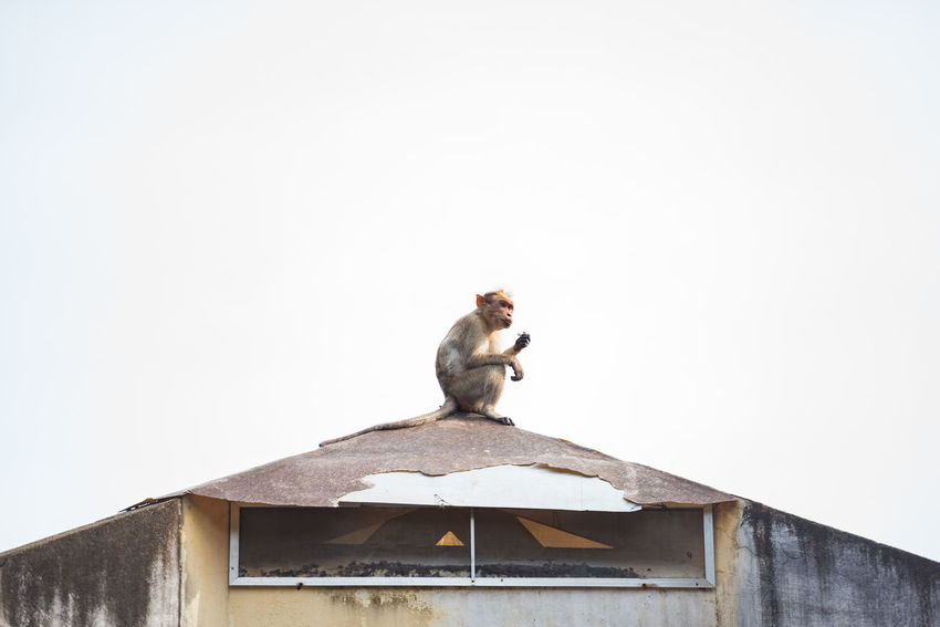 Monkey on the roof. These monkeys are a pest to have on your roof. If anything is loose, they will tear it off. And if it's not loose, they will get it loose. Adapted To The City Animal Animal Themes Architecture Bonnet Macaque Copy Space Day Eating House India Kerala Lunch Monkey Nature No People One Animal Outdoors Roof Ruin Sitting Trivandrum White Background Fresh On Market 2017