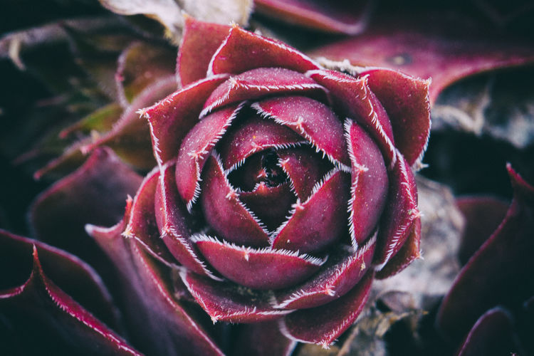 Rose Flower Flowering Plant Beauty In Nature Vulnerability  Fragility Plant Petal Growth Inflorescence Flower Head Close-up Rosé Freshness Rose - Flower Nature No People Red Focus On Foreground Day Maroon Sepal Springtime Purple Macro Photography Macro_collection