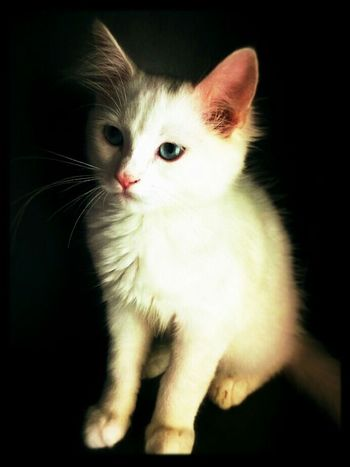 White Cat Fiocco I Love Cats My Cat