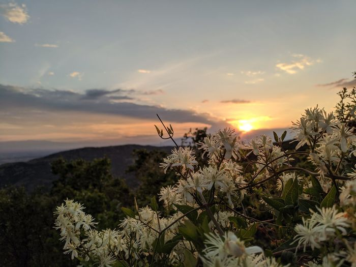 Scenic view of flowering plants against sky during sunset
