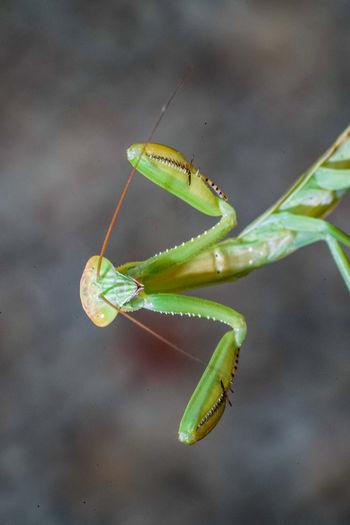 螳螂 Insect Leaf