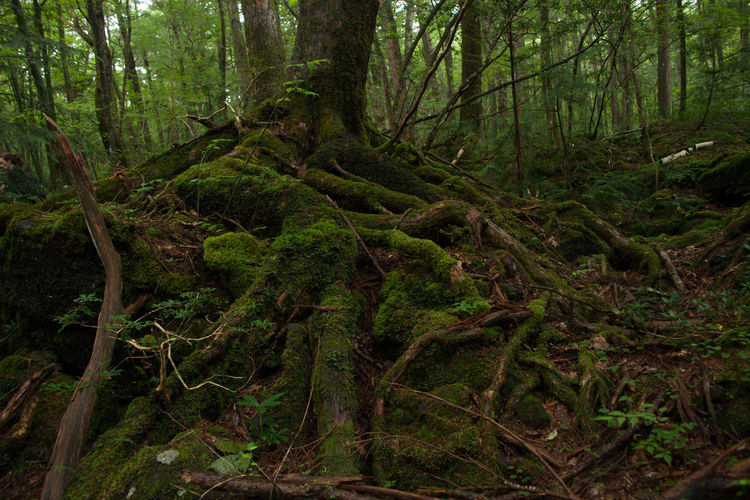 Primitive Forest, Aokigahara Beauty In Nature Forest Green Green Color Jungle Landscape Lush Foliage Moss Natura Natural Nature Non Urban Scene Outdoors Plant Primitive Rocks Roof Tree Tree Trunk Trees Wild Wildlife Wildlife & Nature Wood WoodLand