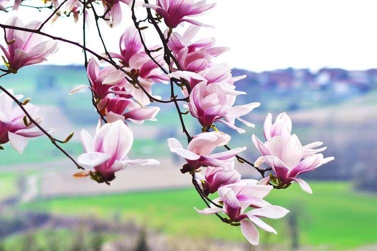 Close-up of magnolia flowers