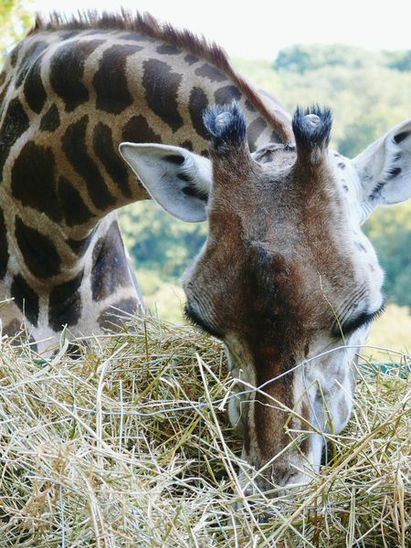 Zoo Animal Schönbrunn Zoo Giraffe