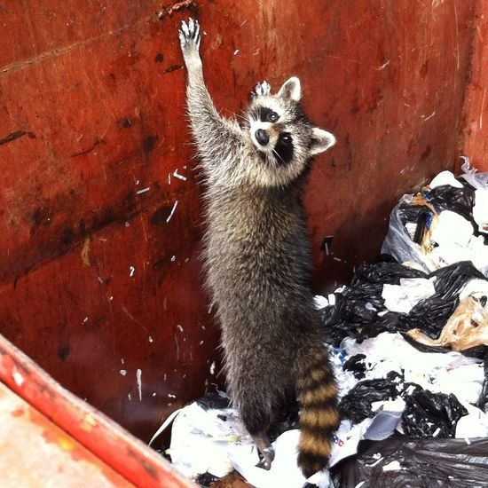 Raccoon Racoons Rescue Rescued