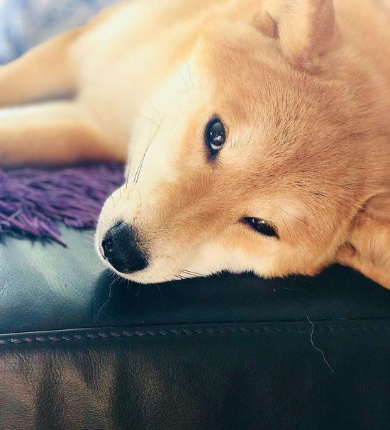 Guten Morgen! Shiba Inu YUMImaus Tadaa Community Pets Dog Domestic Animals One Animal Mammal Animal Themes Lying Down Portrait Relaxation