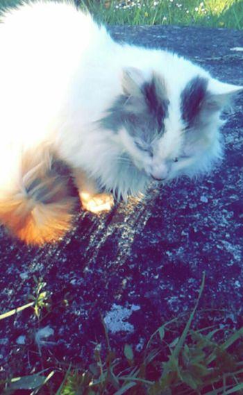 Cat Feline Flat Stone Fluffy Grass Nature Outdoors Spots Sunlight White