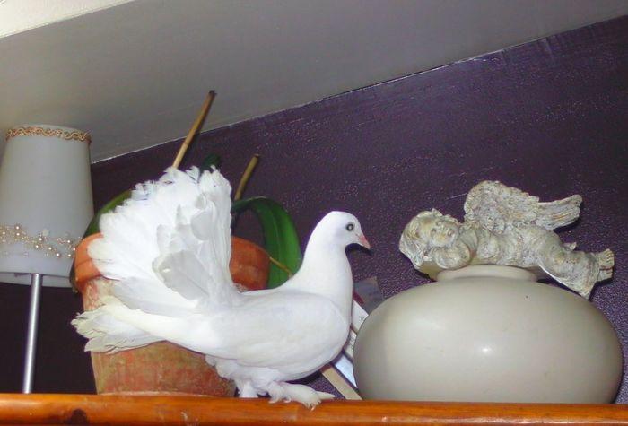 "Mon pigeon paon ""Douith"""