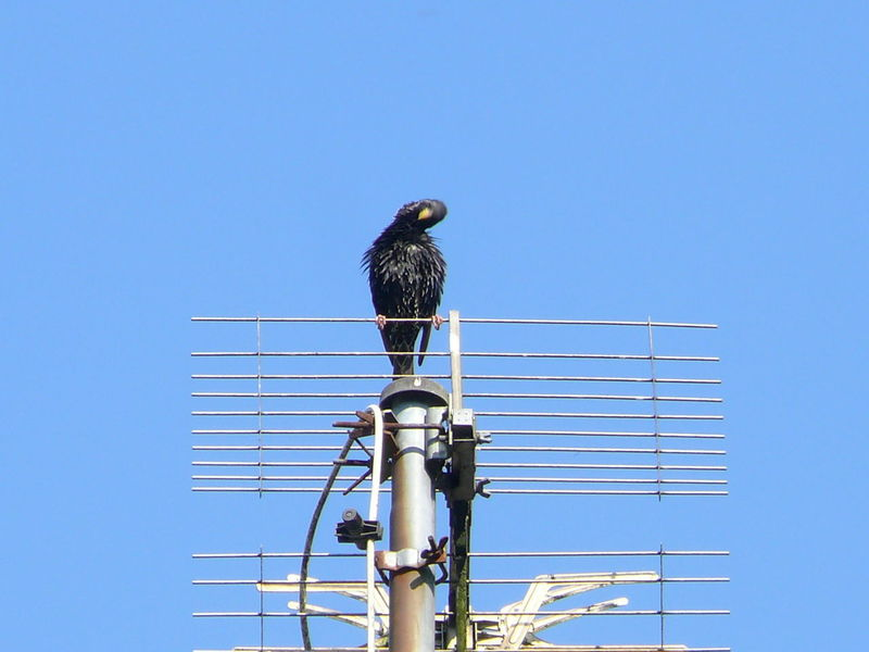 Animal Themes Animals In The Wild Antenna - Aerial Aussicht Genießen Bird Blackbird Blue Clear Sky Connection Day Low Angle View Nature No People One Animal Outdoors Perching Singvogel Technology