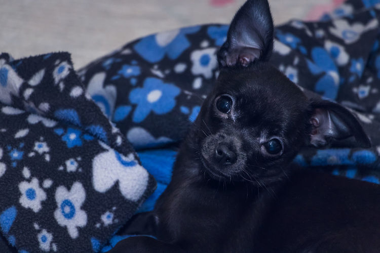 Portrait of black dog relaxing on bed at home