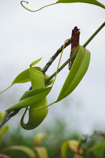 Kantong Semar Pitcherplant Pitcher Plant Nephentes Pitcher Plants Green Color Nature Branch Growth Close-up Fruit No People Beauty In Nature Leaf Agriculture Plant Part Freshness Outdoors Day Naturelover Nature Photography Nature Plant Green Color Freshness