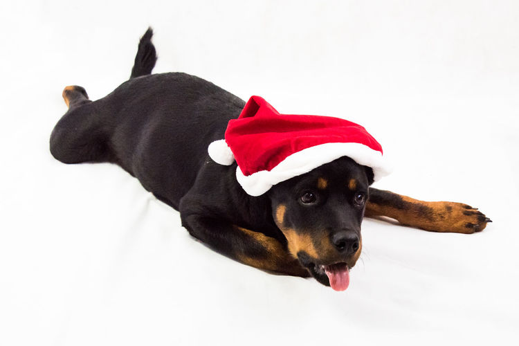 Happy 4. Advent Have A Nice Day! Animal Dog Rottweiler Puppy Showcase: December