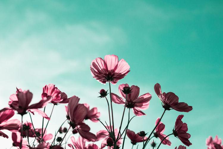 Beautiful pink cosmos flower blooming in the garden
