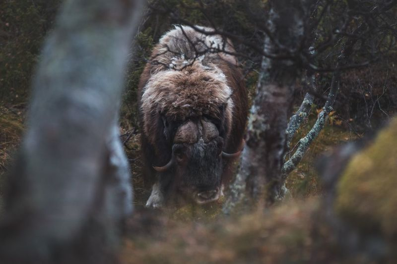 We were so close to this one by accident .. stumbled into a small herd in the forest. But the musk ox were totally cool 😊 One Animal Animal Themes Mammal Animals In The Wild Nature Animal Wildlife Outdoors Forest Close-up Hiking Experience Exploring Dovrefjell Norway Autumn Musk Ox Shades Of Winter