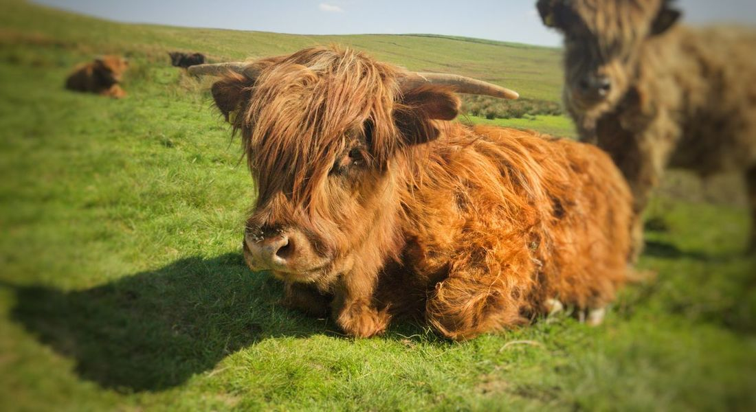 EyeEm Selects Grass Livestock Field Domestic Animals Agriculture Animal Themes Mammal Outdoors No People Grazing One Animal Rural Scene Nature Highland Cattle Sky