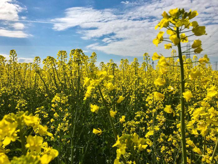 Yellow flowering plants growing on field