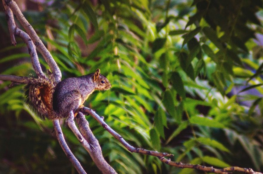 Contemplating Squirrel Green Background Blurred Background Squirrel Life Fox Squirrel Squirrel Photography Squirrel On A Branch Animal Themes Animal Animal Wildlife One Animal Animals In The Wild Plant Vertebrate Green Color Focus On Foreground Beauty In Nature Mammal Nature