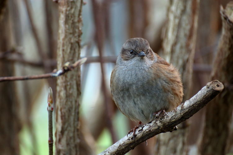One of the most overlooked birds is the Dunnock, also known as hedge sparrow (Prunella modularis). Although very common, these birds live rather hidden in hedges. In most languages the name of that animal means something like 'brown bird', i.e. the irish name 'Donnóg', or also it's latin name: brown singer. Prunella Modularis Dunnock Hedge Sparrow TCD Trinity College Dublin Dublin Bird Birds Of EyeEm  Bird Photography Birds_collection Nature Photography Nature Natureinthecity Birds Animal Wildlife Tree Perching Day Beauty In Nature