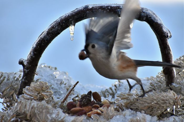 Taking off Connecticut Titmouse Beauty In Nature Flying Snow Low Angle View No People Sky Animal Wildlife Outdoors Day Close-up