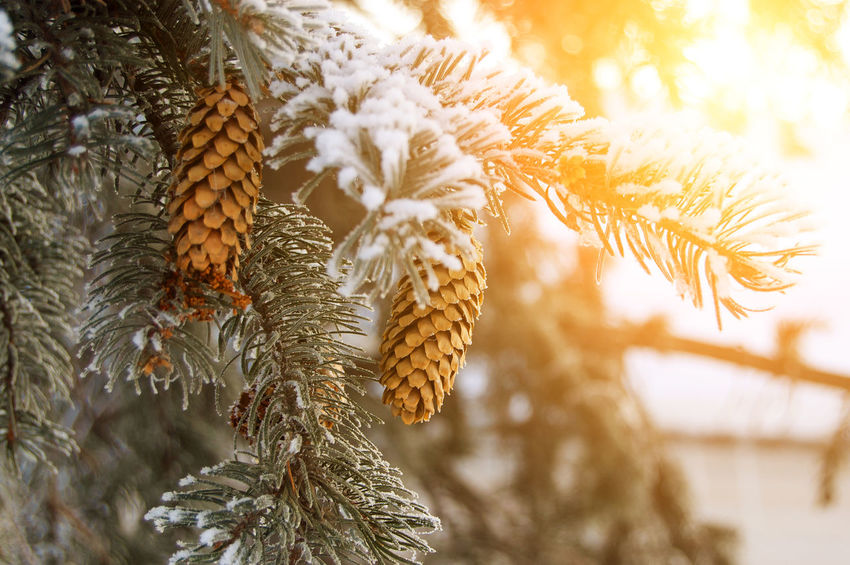 Winter Nature Tree Beauty In Nature Close-up No People Cold Temperature Branch Fir-cone Fir-tree Spruce Sunset Snow EyeEmNewHere