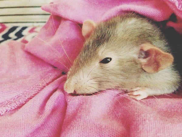Precious Rattie Baby Pet Otis
