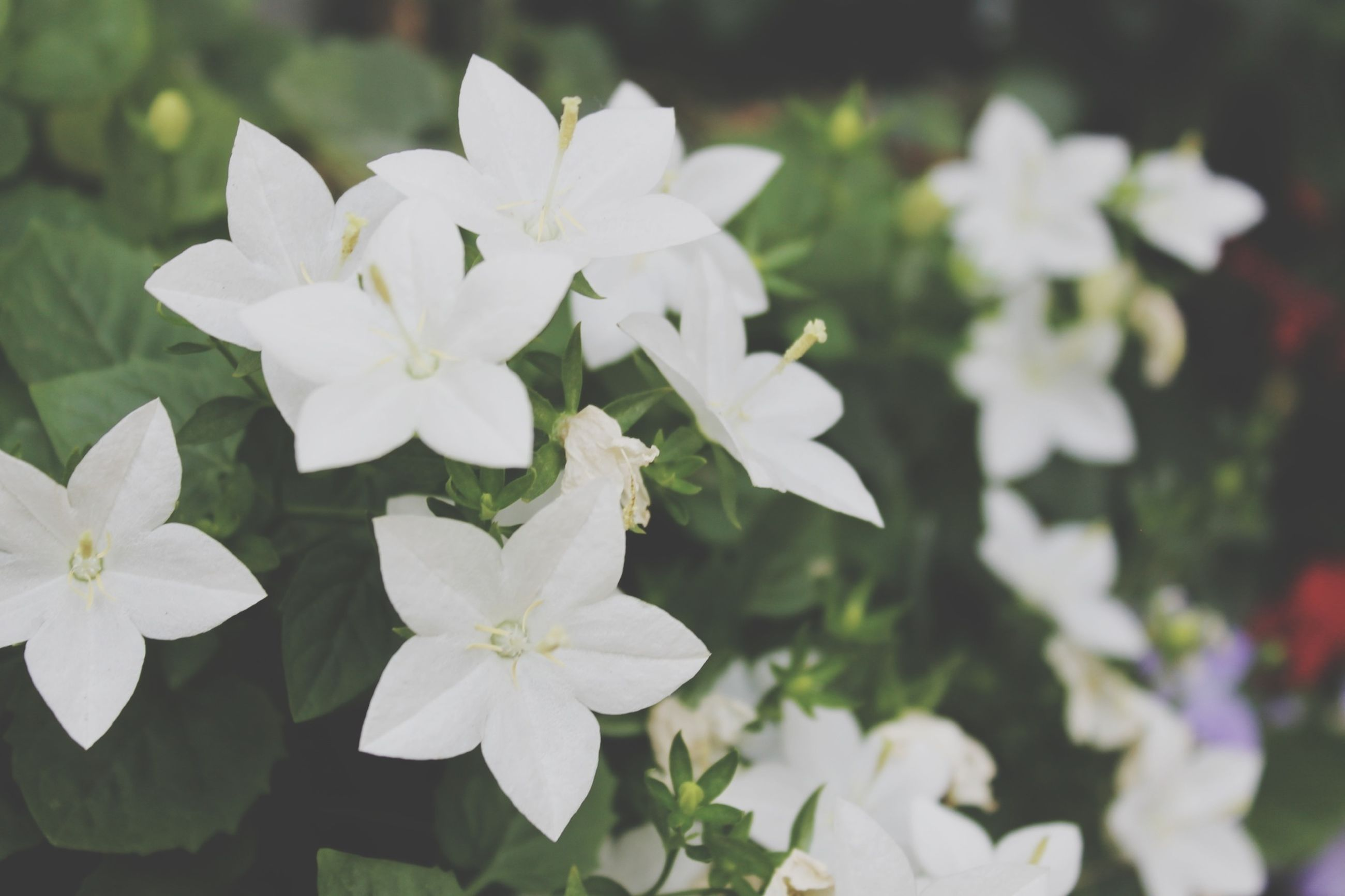 flower, petal, freshness, white color, fragility, growth, flower head, focus on foreground, beauty in nature, blooming, close-up, nature, plant, in bloom, white, park - man made space, blossom, day, outdoors, selective focus