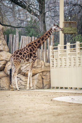 Animal Themes Animal No People Mammal Day Giraffe Zoo Zoology Zoo Animals  Zoophotography Giraffes One Animal Tree Nature Plant Safari Outdoors Barrier Boundary Animals In Captivity Fence Herbivorous Animal Neck Full Frame Cage
