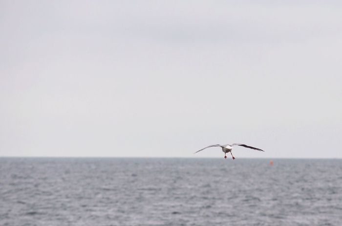 Sea Horizon Over Water One Animal Sky Grey Grey Sky Grey Sea Seagull Flying Animal Themes Nature Water Animals In The Wild Outdoors No People
