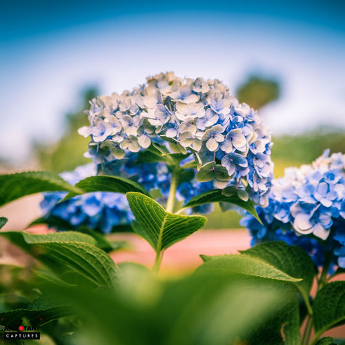 Beauty In Nature Blooming Blue Close-up Day Flower Flower Head Focus On Foreground Fragility Freshness Green Color Growth Leaf Nature No People Petal Plant Purple Selective Focus White Color
