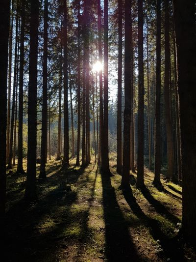 Sunlight streaming through trees in forest
