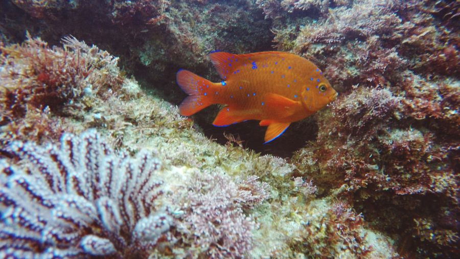 Garabaldi UnderSea Sea Life Swimming Underwater Sea Fish Close-up Ecosystem  Reef Saltwater Fish Soft Coral