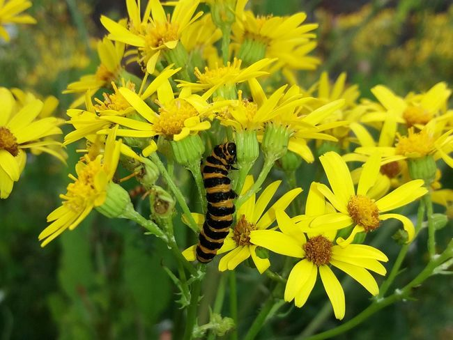 Flower Yellow Plant Insect Nature Petal Flower Head Animals In The Wild Beauty In Nature Freshness No People Focus On Foreground Close-up Catapiller