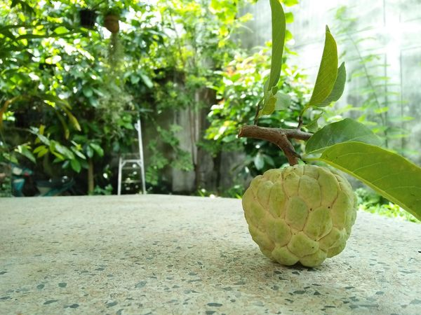 Fruit Tree Freshness Food And Drink Outdoors Healthy Eating Plant Beauty In Nature No People Food Green Color Close-up Custard Apple Sweetsop Sweety  Sugarapple