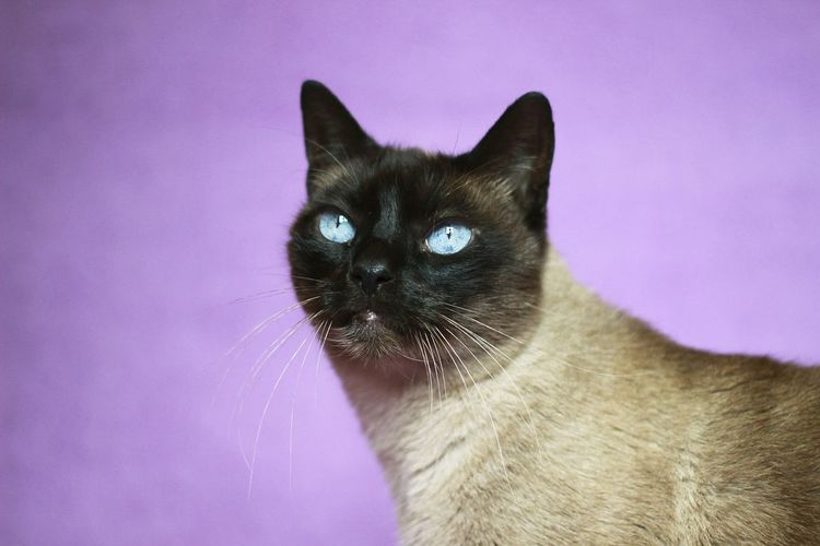Close-up of siamese cat against purple background